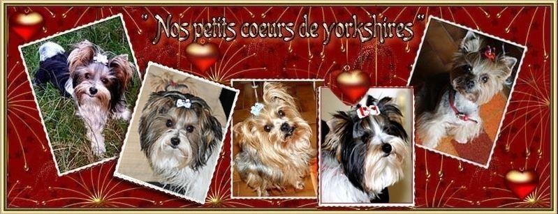 Nos Petits Coeurs de Yorkshires